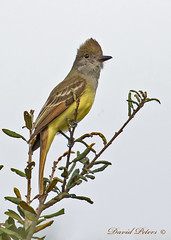 Great Crested Flycatcher (in explore)