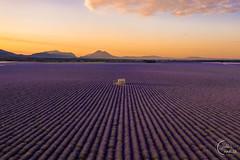 Sunrise over lavender fields 💜