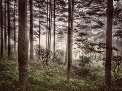 Pinetrees of Huangshan