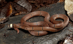 McClelland's Coral Snake (Sinomicrurus macclellandi)