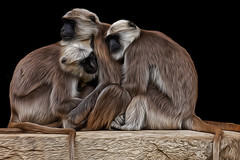 Monkeys (seen in explore )