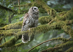 Barred Owl - Bowen Park