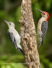 JUVENILE AND ADULT MALE RED-BELLIED WOODPECKERS-1459-025