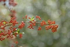 Himalayan firethorn