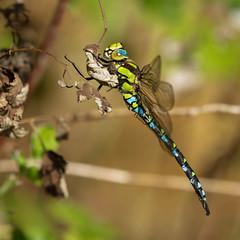 Aeschne bleue mâle dans le jardin - Blue hawker - Aeshna cyanea   (in explore)