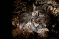 Canadian Lynx - Manitoba
