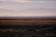 Icelandic Sheep (Iceland)