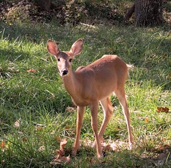 Missouri - White-tailed deer - Explored