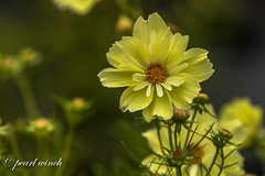 Late yellow cosmos
