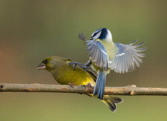 Blue tit getting his own back on the Greenfinch.