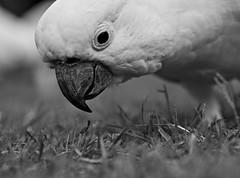 Cockatoo [Explored]