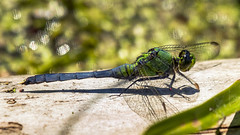 The World of the Dragonfly