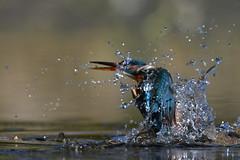 Kingfisher unlucky catch