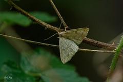 Chytolita morbidalis / morbid owlet moch