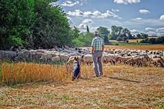 Summer idyll - sheep - shepherd - sheepdog