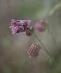 Granny's Pink Bonnet Columbine/ Aquilegia 'Dorothy Rose'