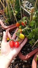 'Funnyplum' Tomatoes Red