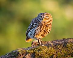 Little Owl in the setting sun