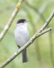 Eurasian Blqckcap, Sylvia atricapilla, RSPB Fowlmere, Cambridgeshire, UK