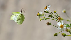 2K8A0095 小紅點粉蝶 Gonepteryx taiwana
