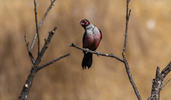 Lewis Woodpecker 159 Malibu Creek State Park Southern California_
