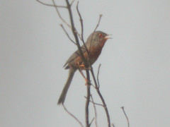 Dartford Warbler, W of Mértola (Portugal), 26-Apr-06