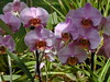 Phalaenopsis bright pink