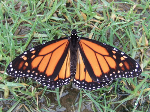 monarch butterfly front wing