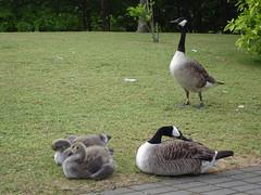 geese2-DSC00208.jpg