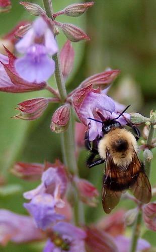 6.24.06 Sage bee
