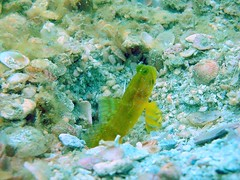Yellow Shrimp Goby