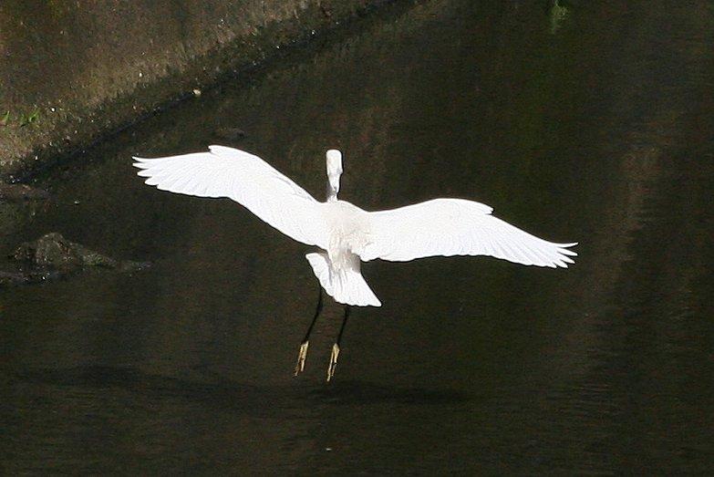 白鷺鷥降落連續照