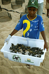 Voluntaria do TAMAR com filhotes de tartaruga, BA, Brasil