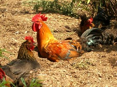 Chickens having a dust bath