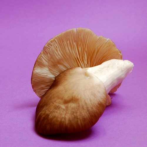 Oyster Mushroom© by haalo