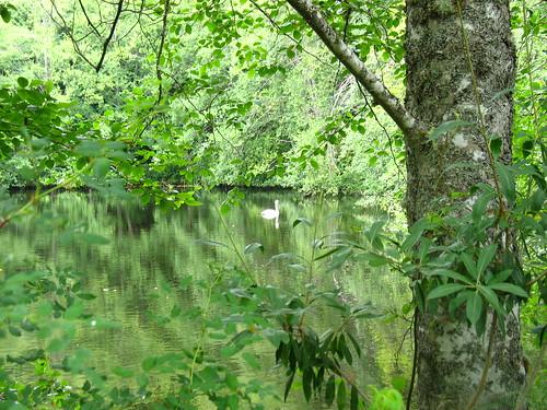 pond 7 swan