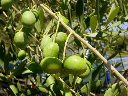 Olives at