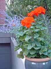29 geranium with blue sage