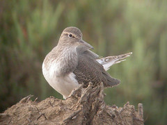 Common Sandpiper, Castro Marim (Portugal), 27-Apr-06