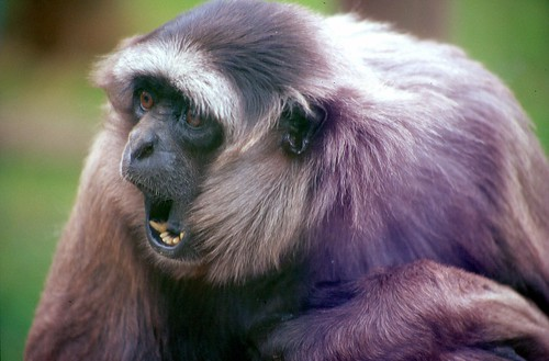 The wongaGibbon (really a Moloch Gibbon)