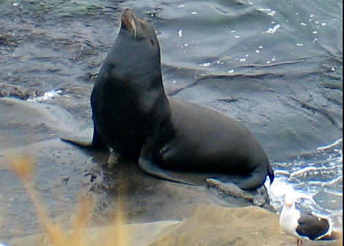 Sea Lion at La Jolla