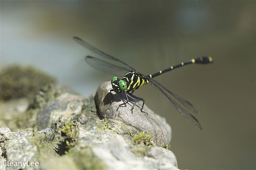 13053蟲莖春蜓 Burmagomphus vermicularis