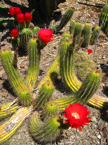 red flowering cactus