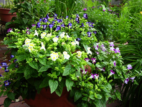 Big Pot-Torenia