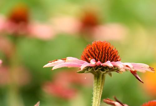 Coneflower in my garden