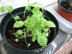 Japanese herb