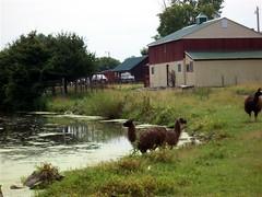A Two-Headed Llama?!