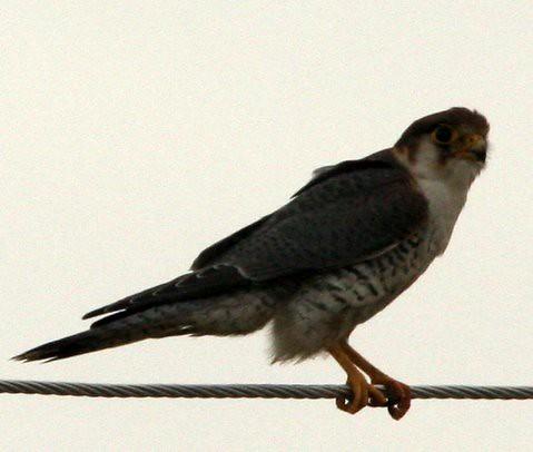 IMG_0118 red necked falcon bagalur farmhouse, 23 Jul 06