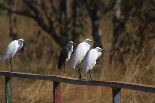Egrets at Fogg dam