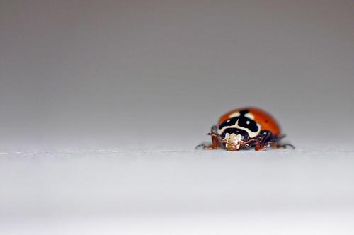 Baby Ladybird macro